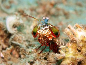 Peacock mantis shrimp (Photo by Jens Petersen (Own work) [GFDL, CC-BY-SA-3.0 or CC-BY-2.5], via Wikimedia Commons