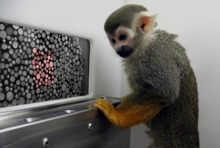 A squirrel monkey named Dalton tests his color vision in an experiment by Jay Neitz at the University of Washington and colleagues.