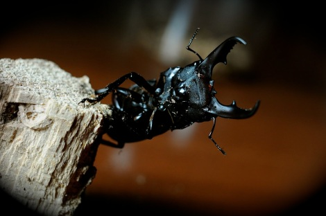Dorcas titanus, better known as the giant stag beetle (Photo by Takato Marui via Wikimedia Commons)