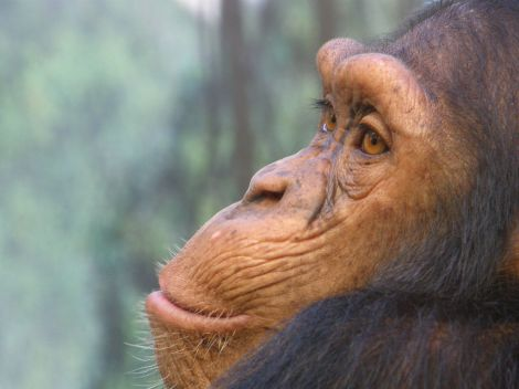 A chimpanzee gazes as if in deep thought.