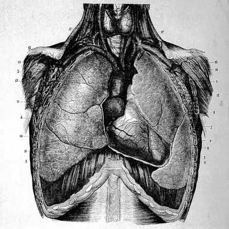 A hand-drawn illustration of lungs and other thoracic organs from a 19th Century anatomy text.