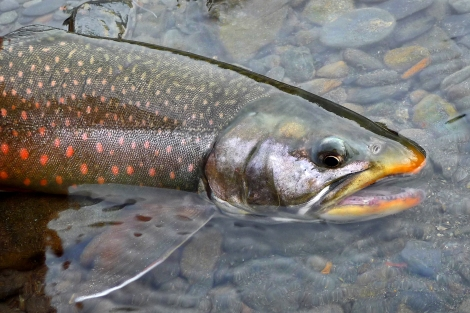 A Dolly Varden char in fall spawn colors.  Photo credit: V. Orange/USFWS Alaska