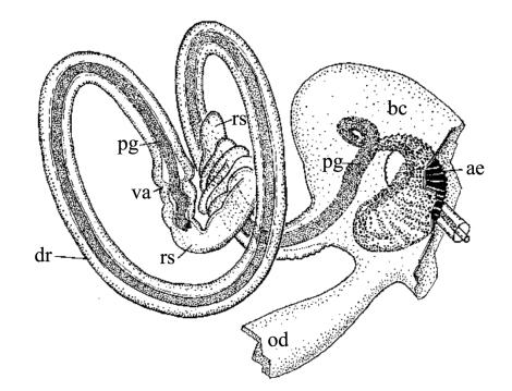 A drawing of the seed bug's labyrinthine genitalia (A. Tadler. Proc R Soc Lond B 1999)