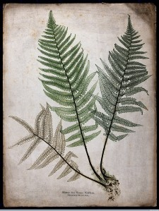The male fern Dryopteris filix-mas
